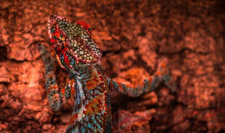 cultural-chameleon